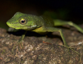Green Crested Lizard from Southern Thailand. Rare and beautiful.
