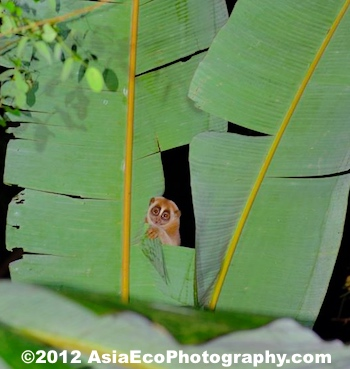 A slow loris found in some banana trees during a night field trip. COME AND JOIN US! We see Slow Lorises often.