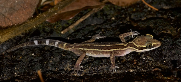 Striped Slender-toed Gecko - Krabi Night Wildlife Tour