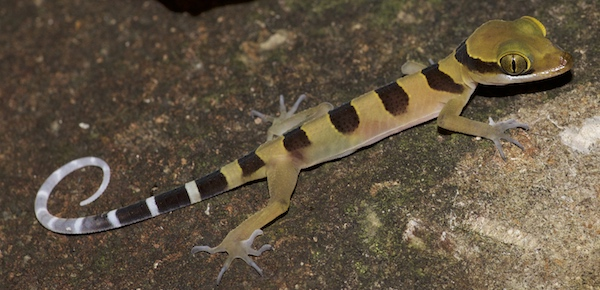Banded Slender-toed Gecko - Krabi Night Wildlife Tour