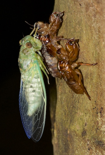 Newly Molted Cicada - Krabi Night Wildlife Tour