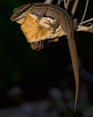 Slender-toed Gecko - Krabi Night Wildlife Tour