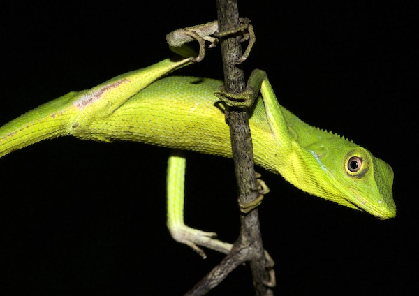 Rare Green Lizard - Krabi Night Wildlife Tour