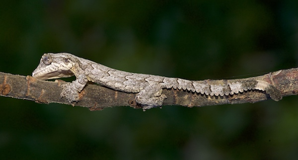 Kuhl's Gliding Gecko - Krabi Night Wildlife Tour