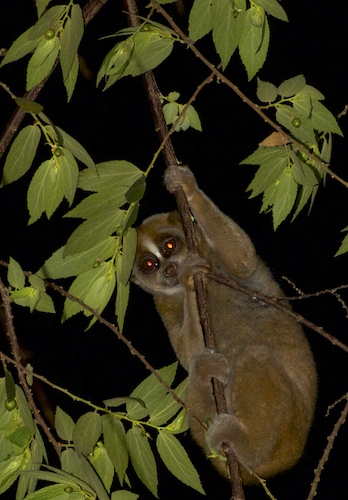 Slow Loris In Situ - Krabi Night Wildlife Tour