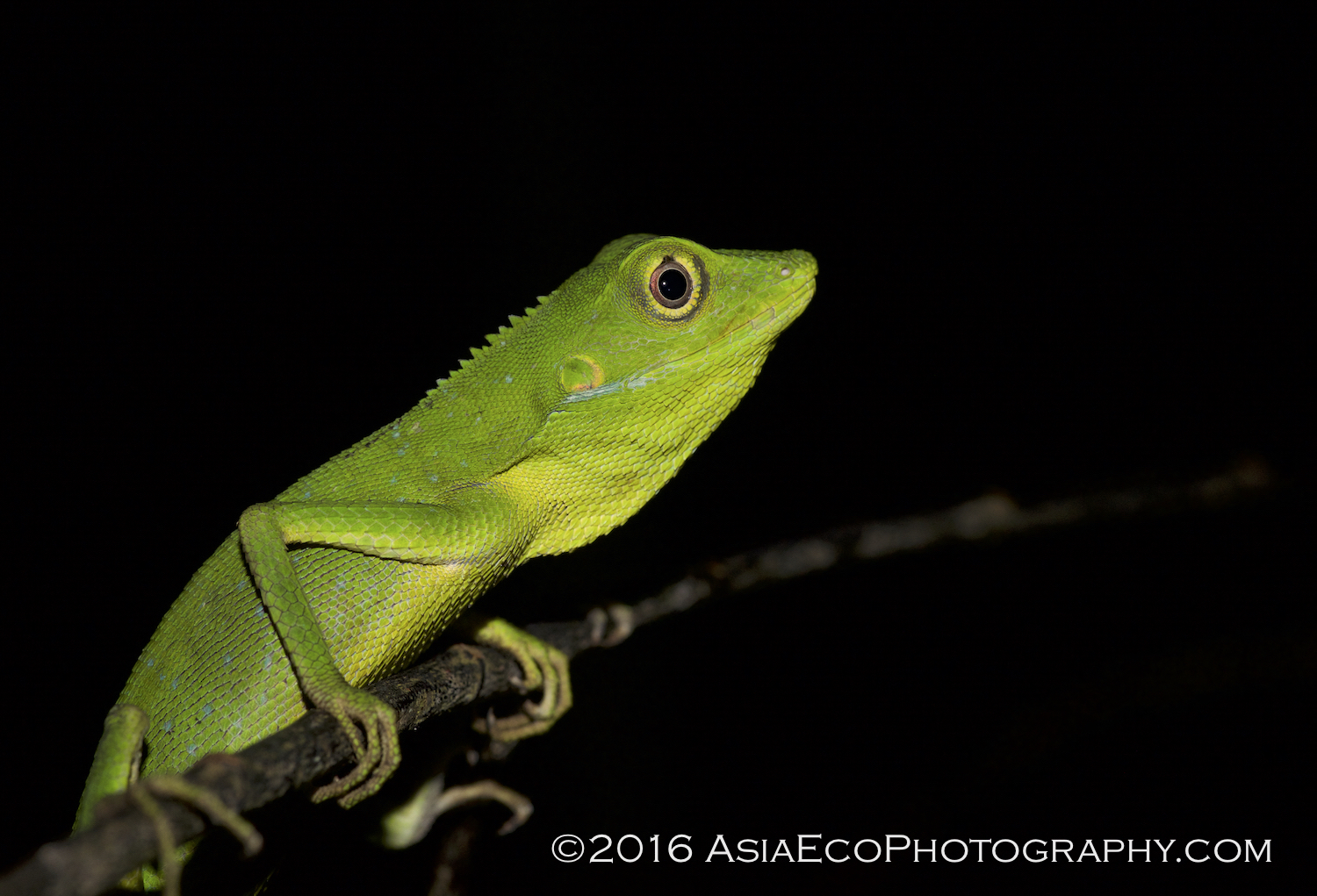 Green Forest Lizard - Krabi Night Wildlife Tour