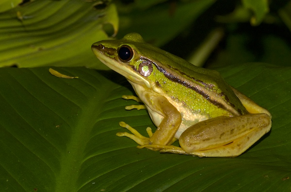 Green and Yellow Frog - Krabi Night Wildlife Tour
