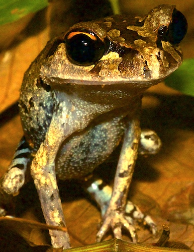 Orange-eyed Frogs - Krabi Night Wildlife Tour